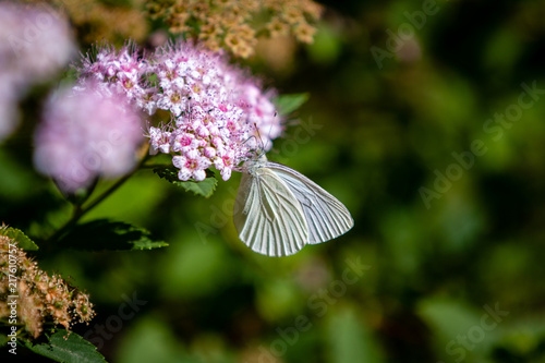 Canvas Vlinder White Butterfly