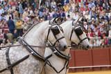 Caballos españoles durante una exhibicion de carruajes e la plaza de toros de Sevilla - 217611307