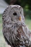Mature Ural Owl Strix Uralensis looking right, eyes wide open - 217612787