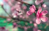 wild flowers sakura bush - 217617706