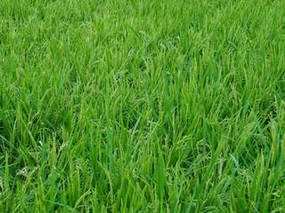 한국 청주시의 논밭 풍경