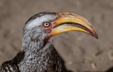 Close-up of head of a Yellow Billed Hornbill