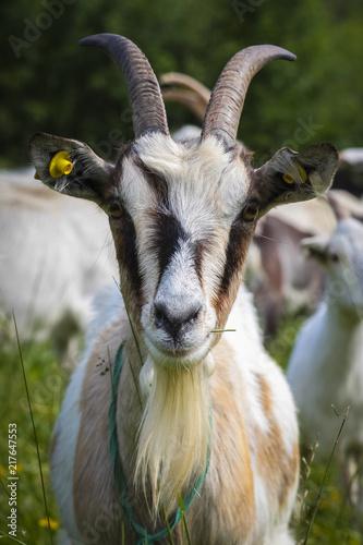 Foto Murales goat in the small farm