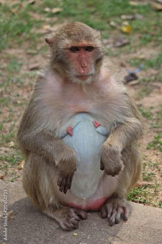 Animal,  a monkey sits on ground,  waits the food from people who see it,  it lives in KUM PHA WA PI park,  at UDONTHANI province THAILAND.