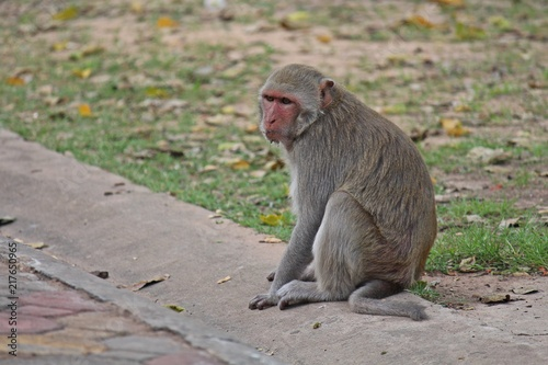 Foto Murales Animal,  a monkey sits on ground,  waits the food from people who see it,  it lives in KUM PHA WA PI park,  at UDONTHANI province THAILAND.