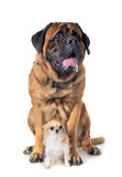 mastiff and chihuahua