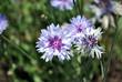 Leinwanddruck Bild - Soft blue cornflowers blooming on   blurry bokeh background, top view
