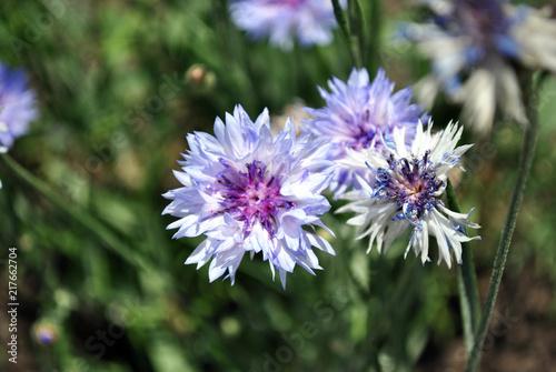 Leinwanddruck Bild Soft blue cornflowers blooming on   blurry bokeh background, top view