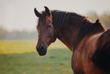 Portrait of a  bay horse - 217681975
