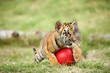 baby tiger play with red ball