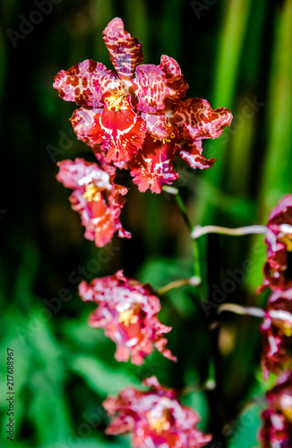 Pink orchid flowers - 217688967