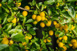 Quadro background from a bush with yellow delicious plums in the summer
