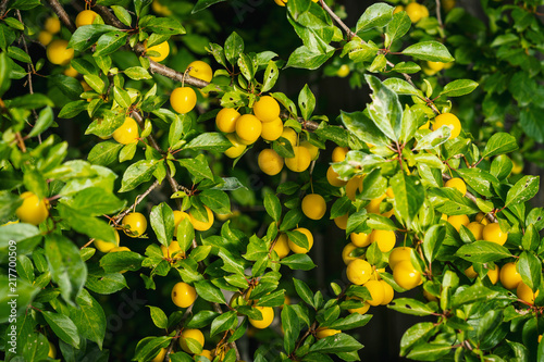 Foto Murales background from a bush with yellow delicious plums in the summer