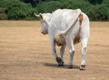 A walking cow