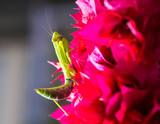 Macro shot of a praying mantis on a pink Bougainvillea - 217704123