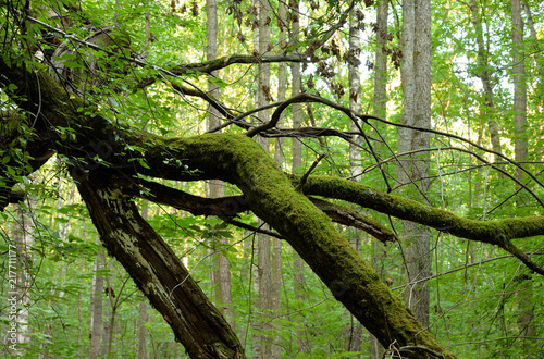 Canvas Zomer The tree branches is curved in deciduous forest.