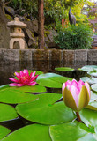 Water Lily Blooming in Backyard garden Pond
