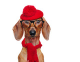 Front view portrait of a dachshund wearing funny red beret and glasses