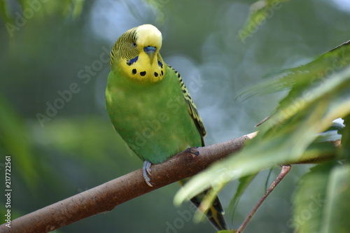Fotobehang Papegaai Closeup of a small green budgie sitting on a tree branch