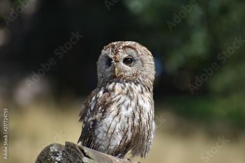 Foto Murales Portrait of a wonderful brown Owl sitting on a tree bark