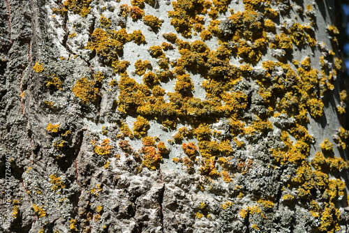 In de dag Stenen Very bright and colorful poplar bark with dry moss and scars, stylish background