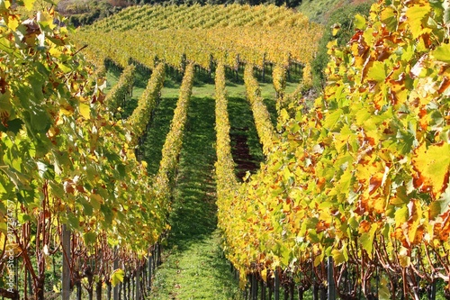 In de dag Wijngaard Vineyard in the Kaiserstuhl (meaning emperor's chair) hills in Germany on a sunny day in autumn