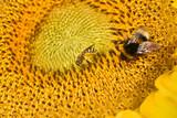Sonnenblume, Helianthus, annuus, Hummel, Biene