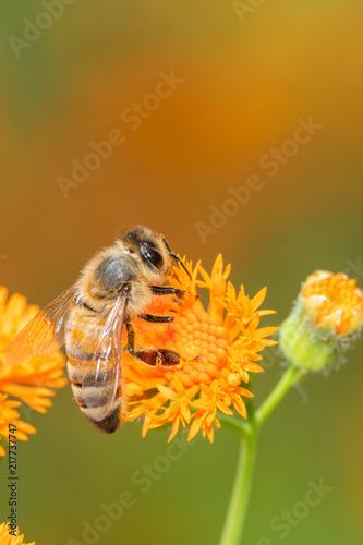 In de dag Bee Closeup of a flower in the garden