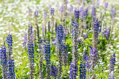 Foto Spatwand Lavendel Flower Field