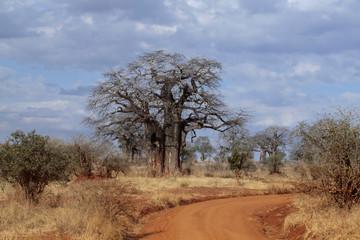 Afrikanische Affenbrotbaum (Adansonia digitata), Afrikanischer Baobab