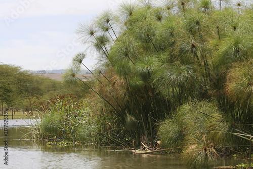 Foto Murales Papyrus Pflanzen (Cypercus papyrus)  im Naivasha See, Kenia, Ostafrika
