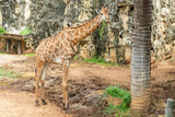 A female giraffe is chewing the grass in the zoo