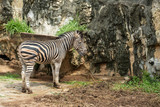 A male zebra feed on grass in the zoo
