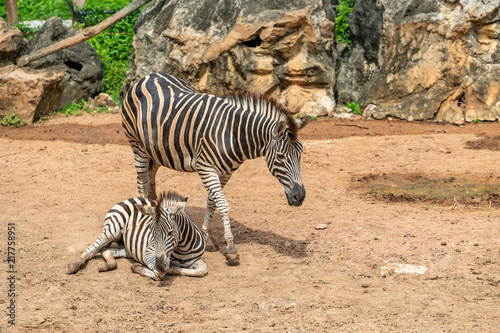 A female zebra is standing next to her female foal
