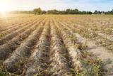 Ackerbau in Deutschland. Im heißen Sommer vernichtet die Trockenheit die angebauten Pflanzen. Die Pflanzen liegen vertrocknet in den Reihen auf dem ausgetrockneten, krustigen Erdboden. - 217766553