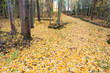 Quadro Fallen yellow leaves at autumn forest in Finland