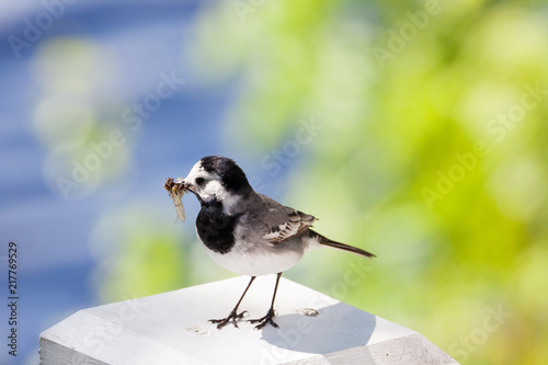 Foto Murales Wagtail bird with insects in beak