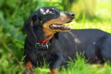 dog, animal, pet, dachshund, black, puppy, canine, doberman, cute, rottweiler, mammal, brown, breed, grass, isolated, portrait, animals, purebred, nature, hound, dobermann, domestic, pets, small