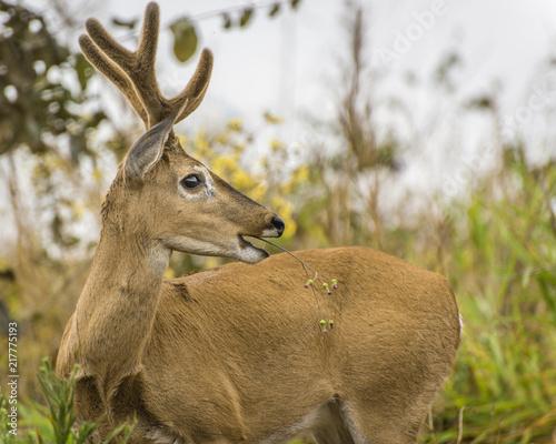 Canvas Hert Pampa Deer
