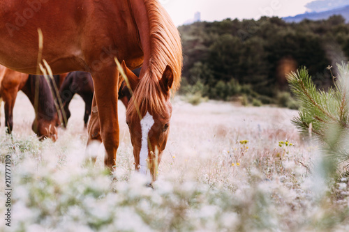 Young red horse grazing in a meadow, the background meadow
