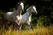 Trabende Pferde auf der Weide