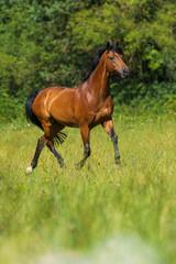 Trabendes Pferd auf der Weide