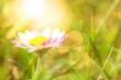 Leinwanddruck Bild - Sommer - Gänseblümchen in glitzernder Morgensonne