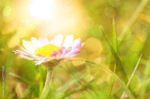 Leinwanddruck Bild Sommer - Gänseblümchen in glitzernder Morgensonne