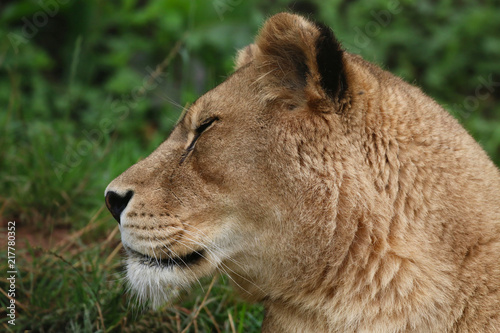Canvas Lion Lion head portrait