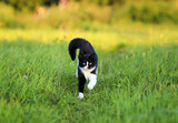 beautiful cat is cheerfully and quickly runs along a green juicy meadow on a sunny, clear spring day