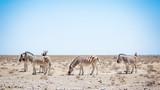 Zèbre Parc national Etosha en Namibie Safari