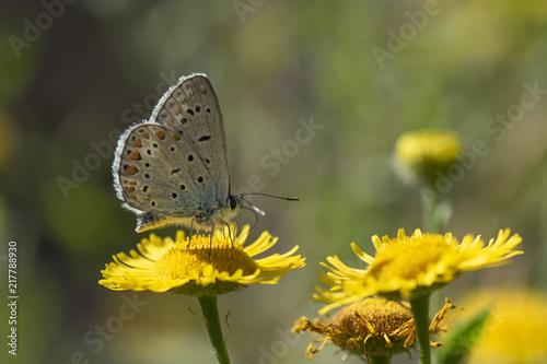 Foto Murales Lycaenidae / Çokgözlü Amanda / Amanda blue / Polyommatus amandus