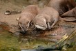 Two Asian small clawed otters (aonyx cinerea) looking into a pool of water