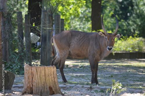Foto Murales wild looking antelope